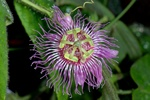 Passiflora pilosa